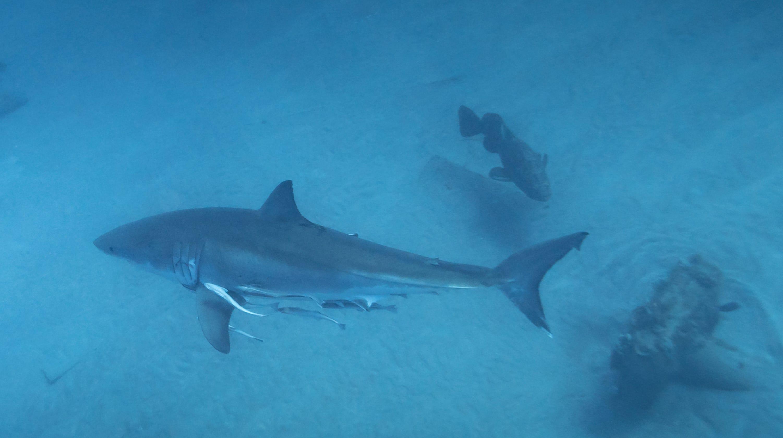 Divers find great white shark off Jupiter