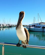 A pelican at the Fort Pierce City Marina. Pelicans are federally protected.