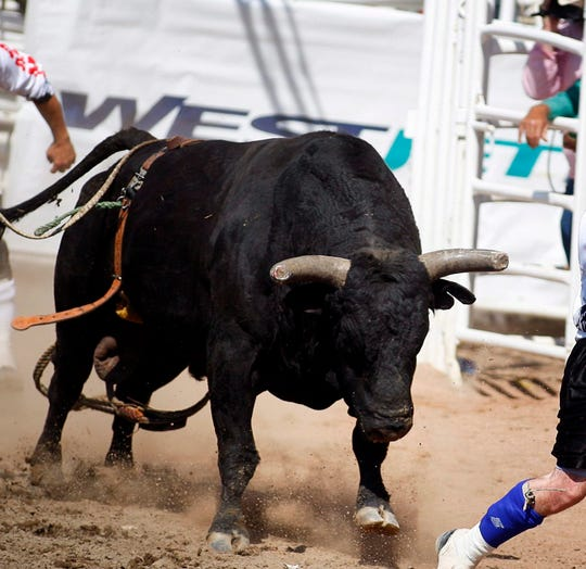 A bull shown during a rodeo.