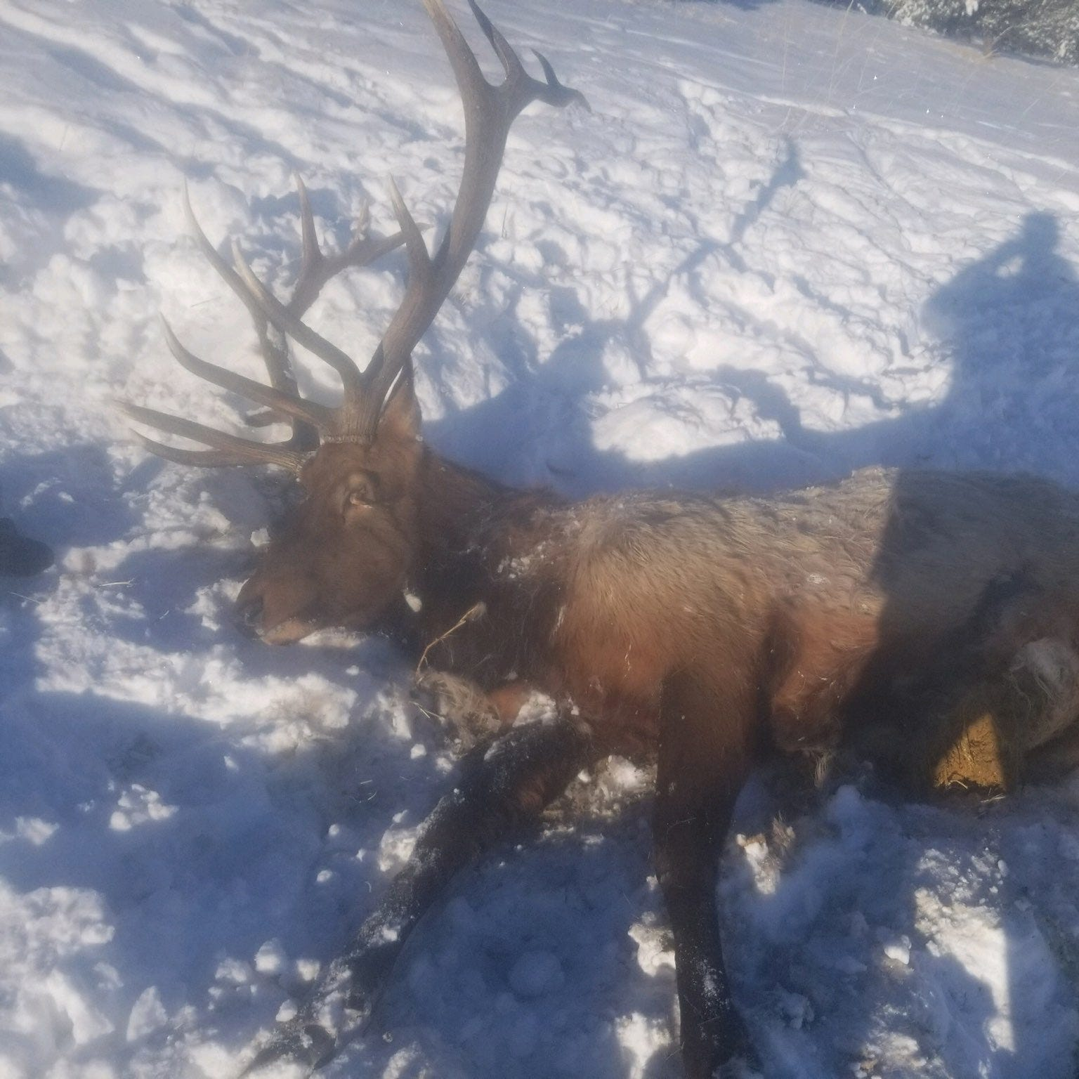 Two poached elk found in Blaine County