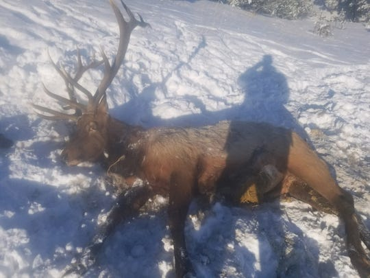 This bull elk was found north of Cow Creek Reservoir south of Chinook.