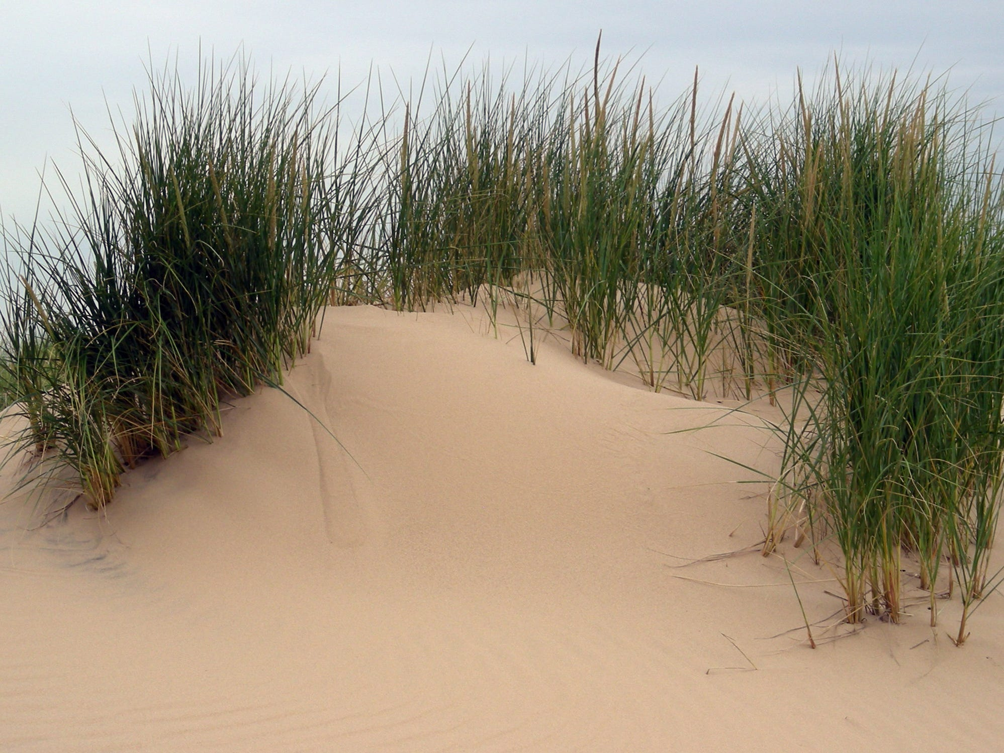 Marram grass is the key to keep sands from blowing away. It sends deep roots into the sand to hold it in place.