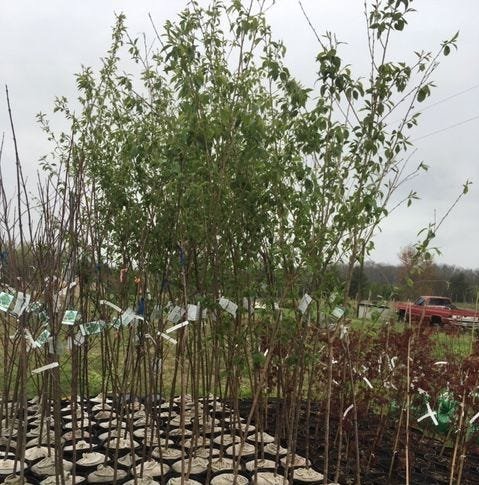 American Legion tree sales are back with another season of bargain trees and shrubs