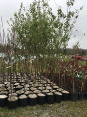 The annual tree sale at American Legion Post 88 offers a large variety of trees and shrubs for $17 each.