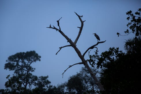 A great blue heron perches on a tree branch along the stretch of the Estero River that flows through Koreshan State Park in Estero, on Tuesday, February 19, 2019.