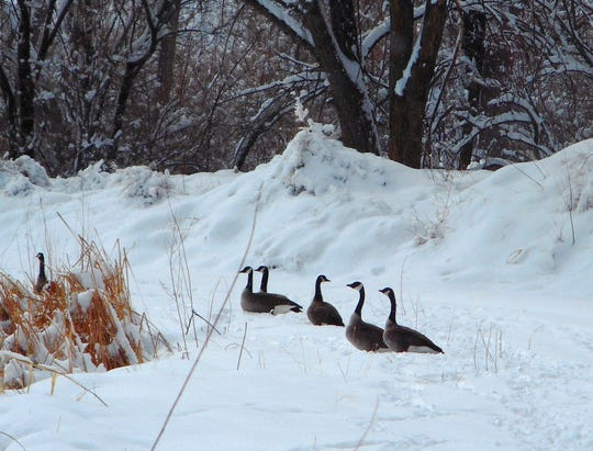 Canada geese sit along a snow-covered path Tuesday at Riverside Park in Aztec.