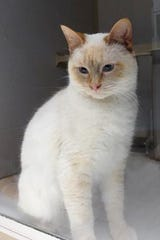 Valentino is a very handsome, blue eyed Flame Point Siamese.