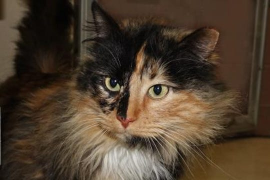 This is Mattie. She is the sweetest, most laid-back Calico around.