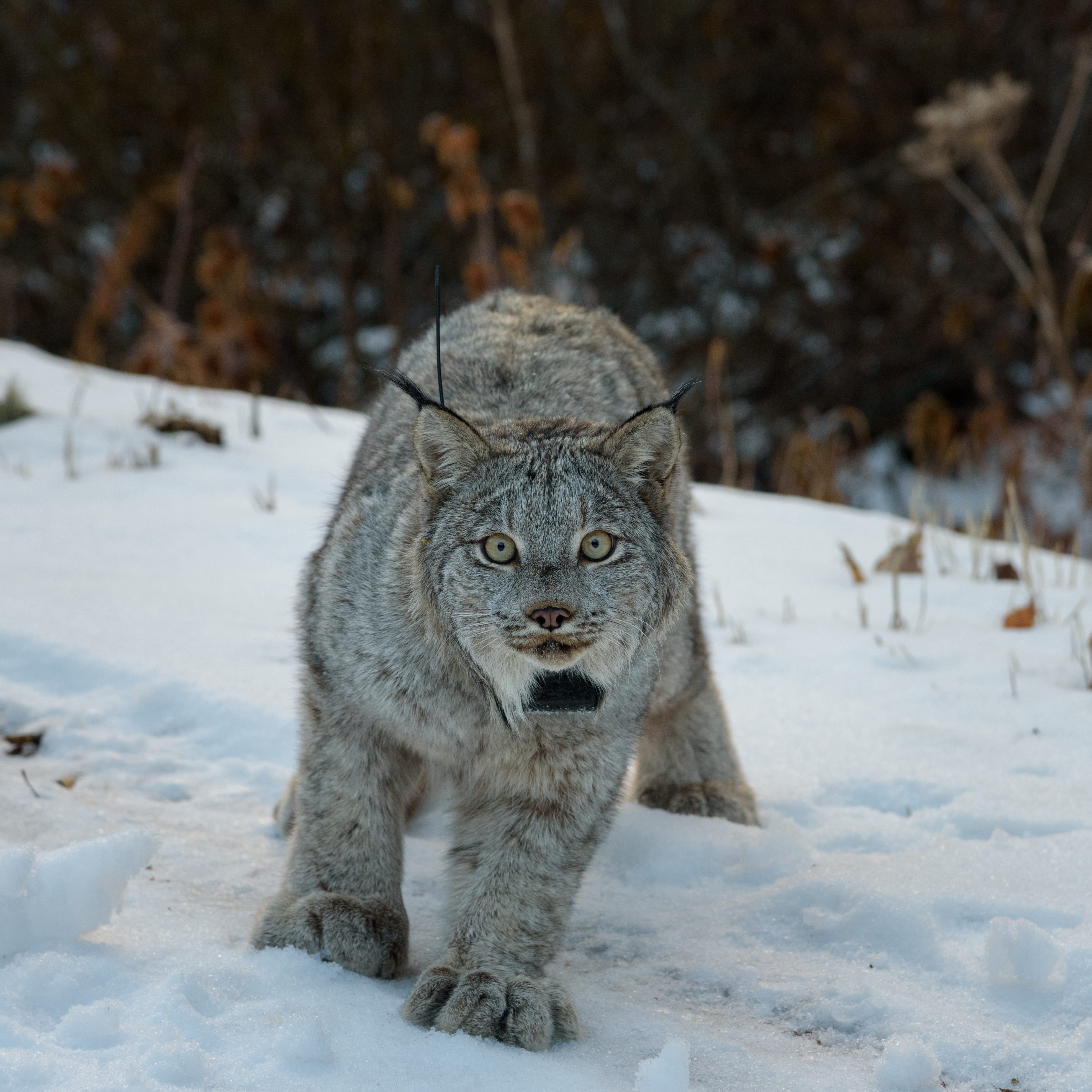 DNR: Cat sighted near Lexington could be rare lynx