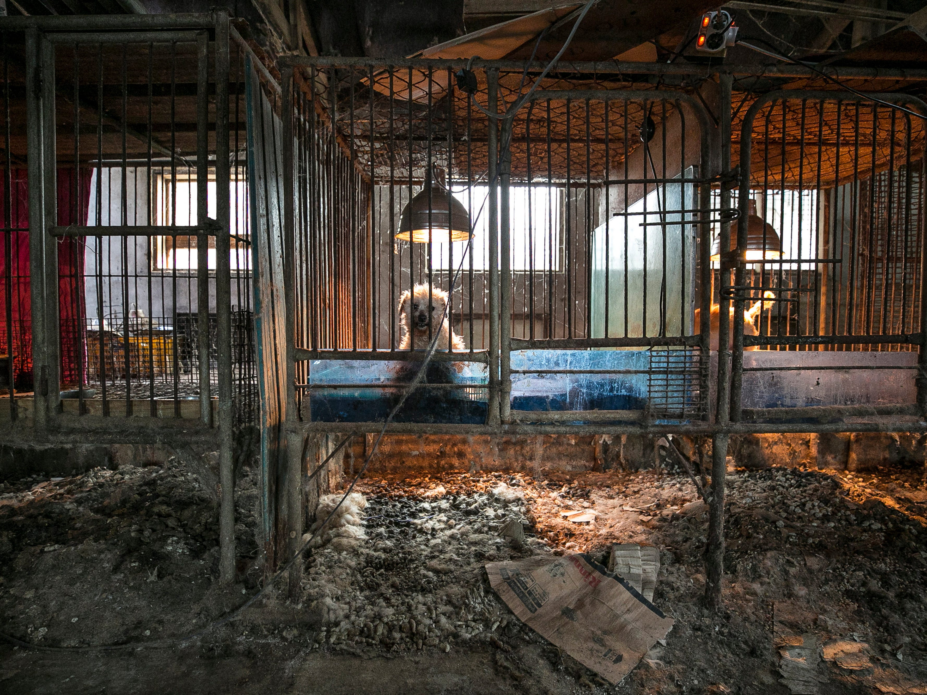 Mother dogs and puppies inside a puppy mill are shown locked in a cage at a dog meat farm in Hongseong-gun, South Korea, on Friday, January 11, 2019. The operation is part of HSIs efforts to fight the dog meat trade throughout Asia. In South Korea, the campaign includes working to raise awareness among Koreans about the plight of meat dogs being no different from the animals more and more of them are keeping as pets.