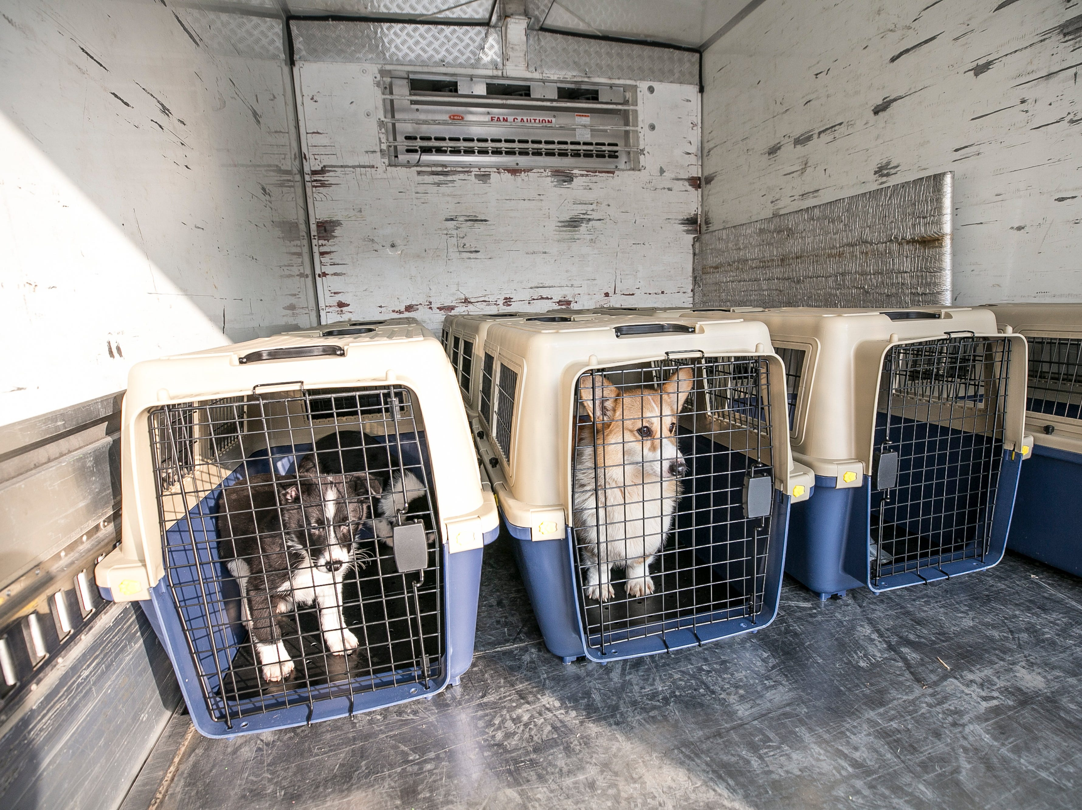 The rescued dogs sit inside the crates as the HSI Animal Rescue Team had loaded them onto the truck at a dog meat farm in Hongseong-gun, South Korea, on Wednesday, February 13, 2019. The operation is part of HSIs efforts to fight the dog meat trade throughout Asia. In South Korea, the campaign includes working to raise awareness among Koreans about the plight of meat dogs being no different from the animals more and more of them are keeping as pets.