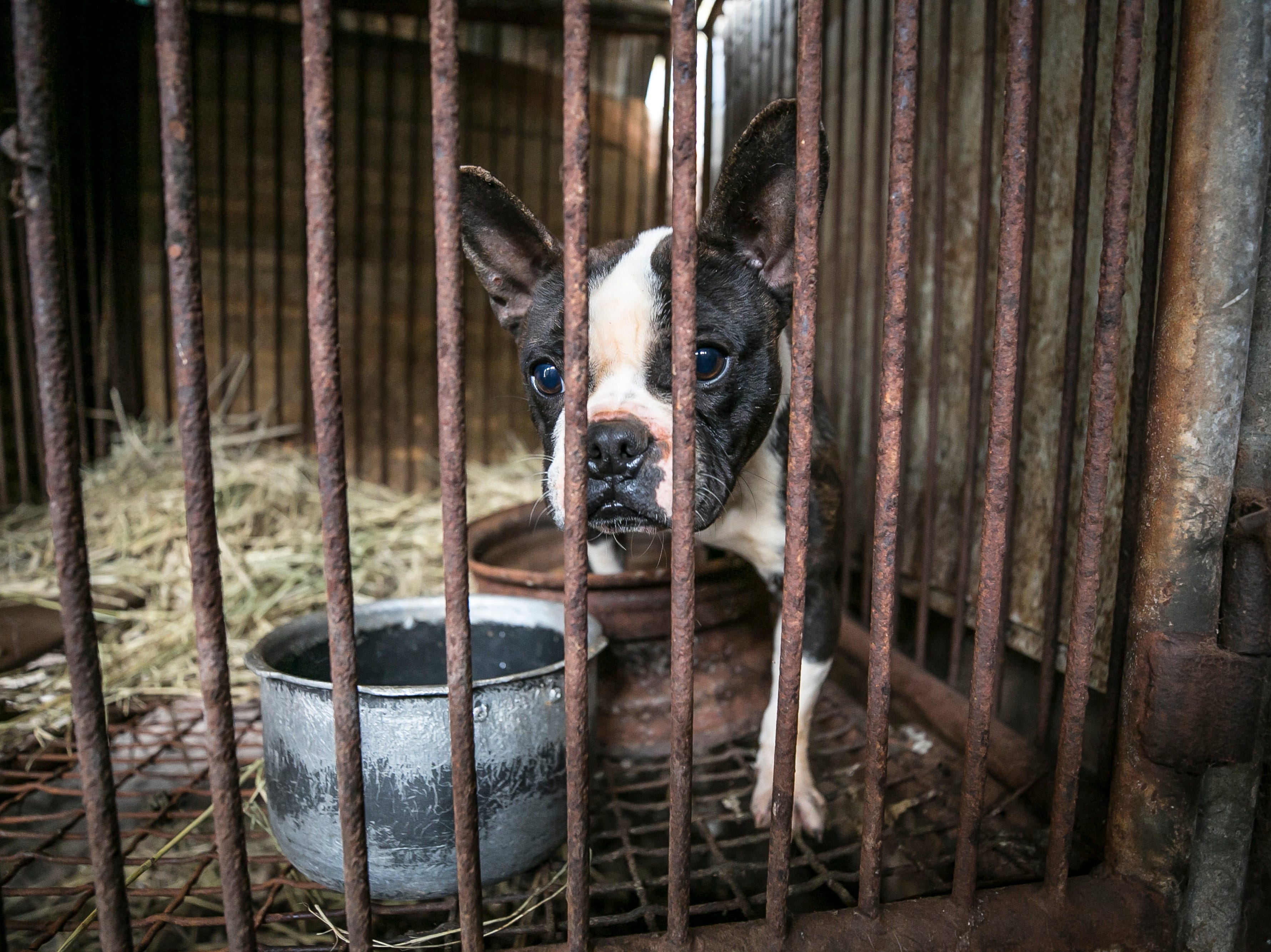 A dog is shown locked in a cage at a dog meat farm in Hongseong-gun, South Korea, on Friday, January 11, 2019. The operation is part of HSIs efforts to fight the dog meat trade throughout Asia. In South Korea, the campaign includes working to raise awareness among Koreans about the plight of meat dogs being no different from the animals more and more of them are keeping as pets.