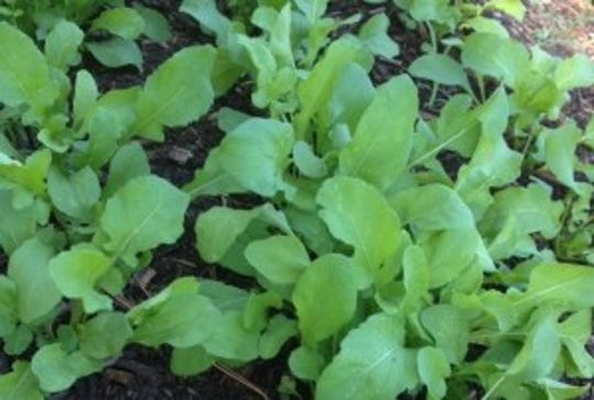 Arugula is an easy green to grow all throughout the year.