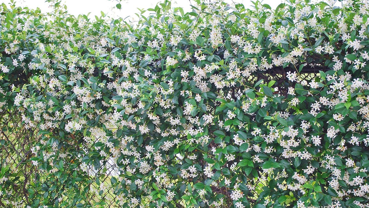 Shrubs Work Well For Buffer Hedges In The Shade