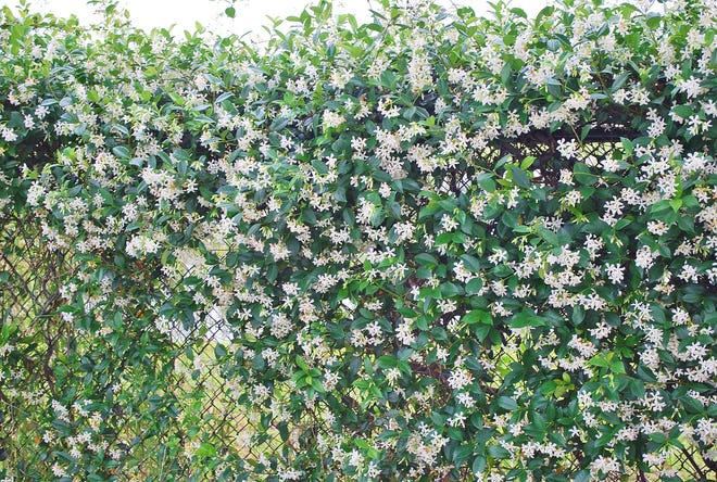 Confederate Jasmine is a springtime bloomer grown all over Florida and the southeast. It grows in sun or shade but does best with a bit of partial shade. It has moderate salt tolerance and good drought tolerance, climbs by twining and has no support roots or disk, so it may need tying to start. Very fragrant white flowers about ¾ of an inch across are borne in great profusion. The dark green leaves are up to 4 inches long. A versatile plant,Confederate Jasmine is good for use on fences, trellises, and as a ground cover.