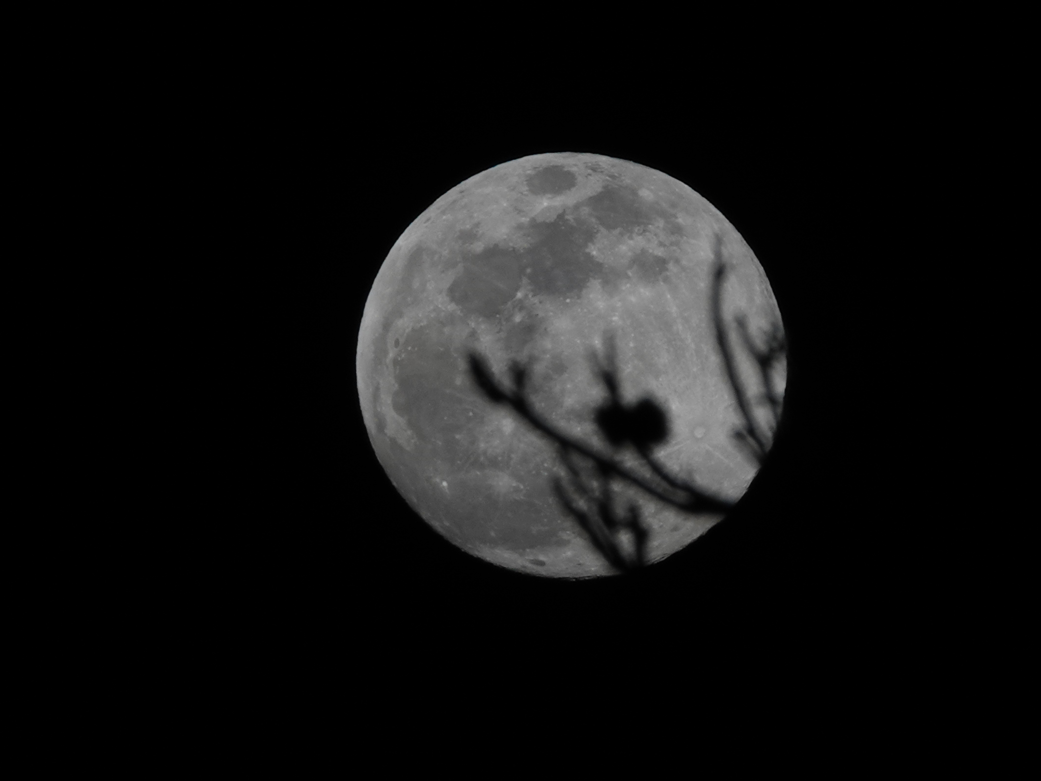 Monday's supermoon rises behind tree branches in Camarillo around 6:30 p.m.