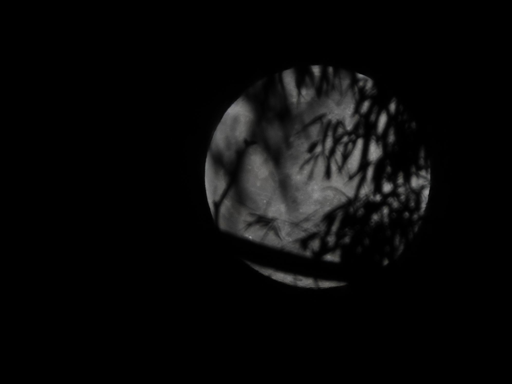 Monday's supermoon shines through tree branches shortly after sunset in Camarillo. Overnight, the moon will be at its closest point to Earth at about 221,000 miles.