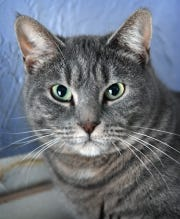 Sami is a 1-year old female, gray tabby, domestic short-haired cat.  She is vaccinated, spayed and microchipped. Sami is calm, sweet and is available for adoption from the Humane Society of Wichita County.