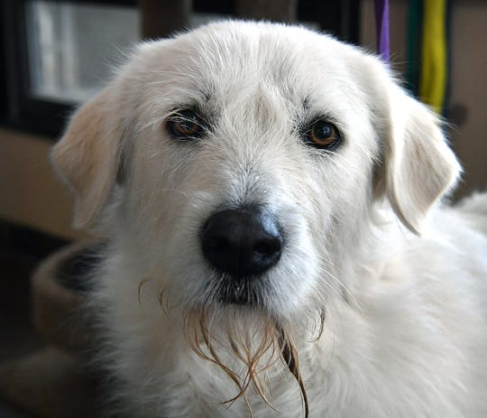 River is a 2-year old, white, female Great Pyrenees mix. She is vaccinated, spayed and microchipped. River is gentle, gets along well with other dogs and is available for adoption from the Humane Society of Wichita County.