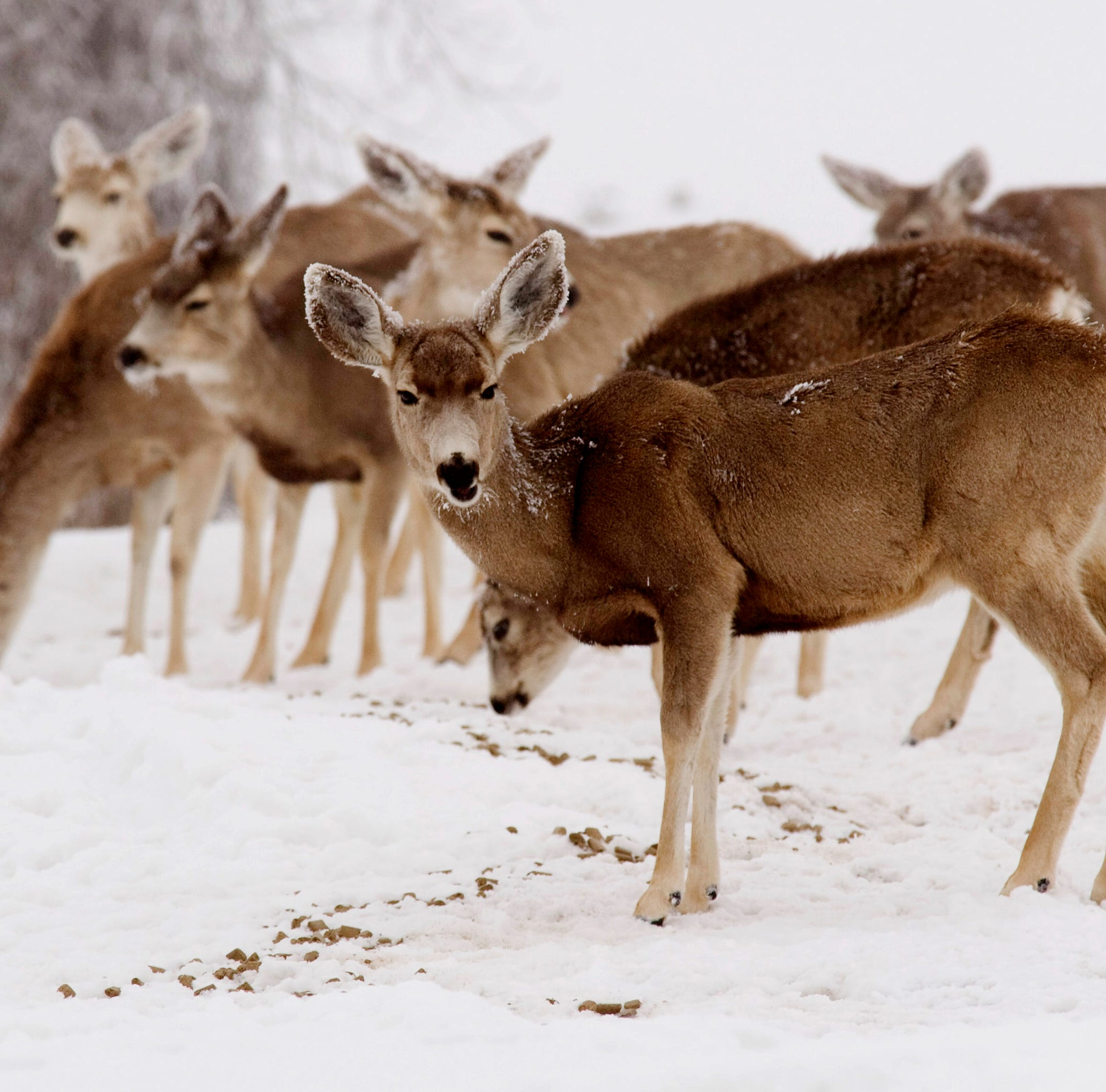 'Zombie' deer disease: Will deer with chronic wasting disease   attack humans?