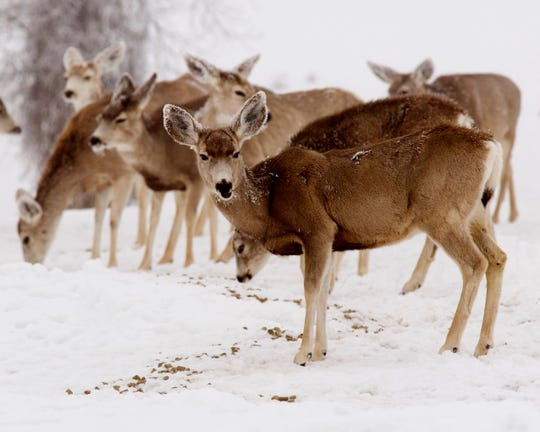 Many deer suffering from chronic abrasive disease can be quite healthy for more than a year.