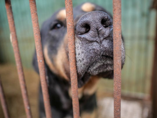 A dog in a cage at a dog meat farm in Hongseong, South Korea.