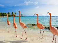 In Aruba, 10 flamingos live on a private island at the Renaissance Aruba.