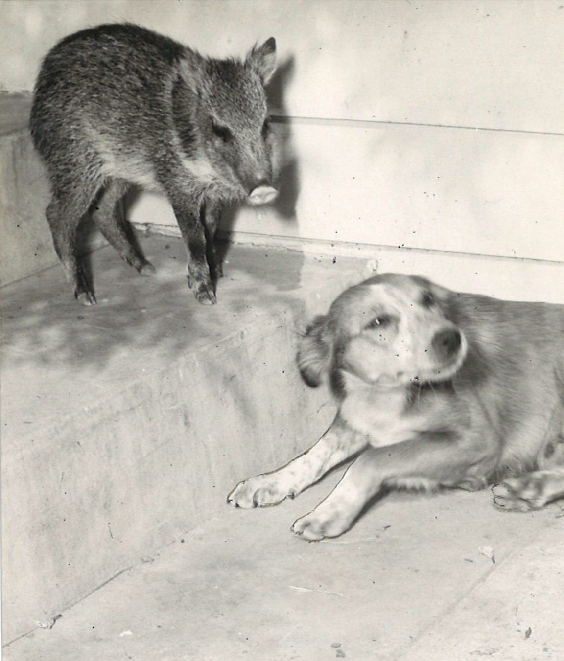 Coffe Pot (left) and Runt outside their home on Wilson Drive in Corpus Christi in May 1958. Coffee Pot got her name because her grunting sounded like a percolator. Todora Rucker adopted the baby javelina at three days old and Runt nursed Coffee Pot alongside her puppies. Texas Parks and Wildlife picked up the javelina and rehomed her with a state wildlife exhibition.