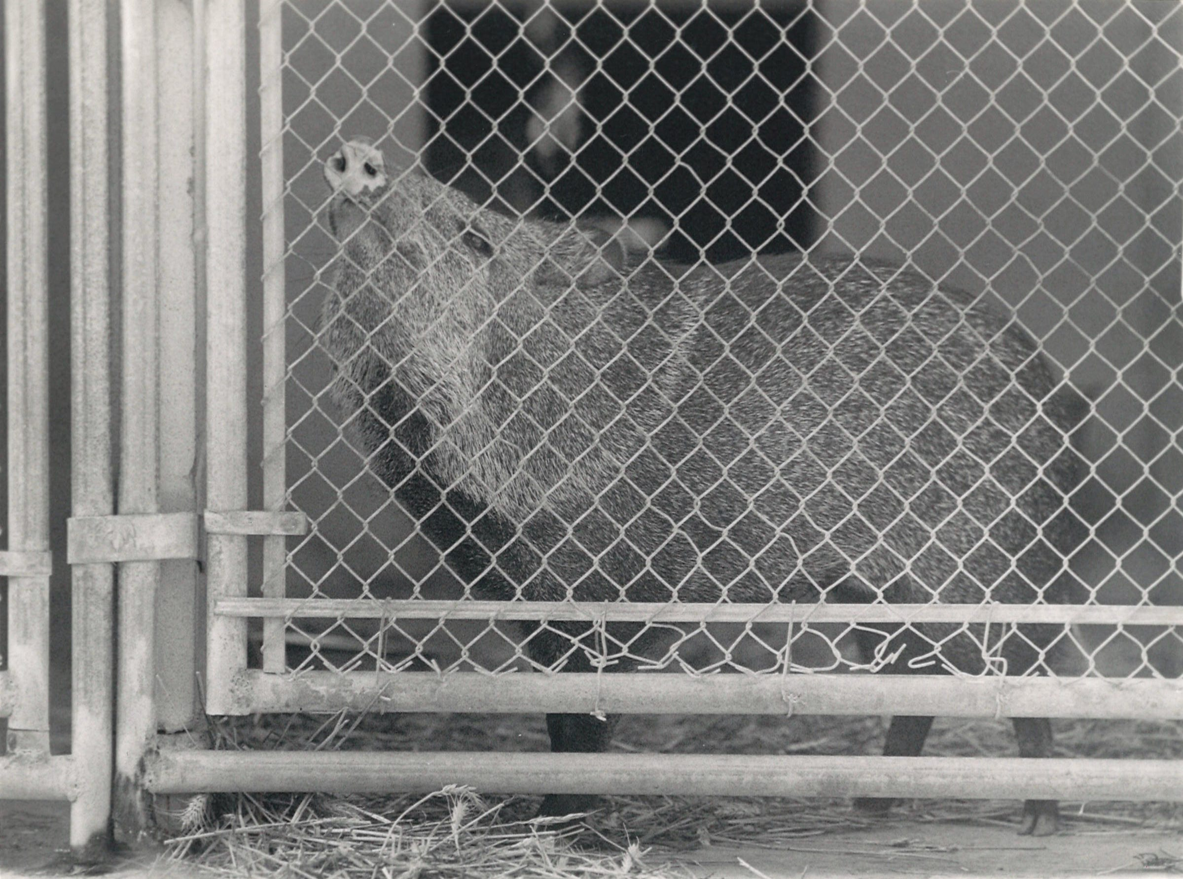 George the javelina at Corpus Christi Animal Control offices in May 1989 before he was released on the King Ranch. George was hand raised by Jan Eskew. He was neutered, de-scented and had his tusks removed.