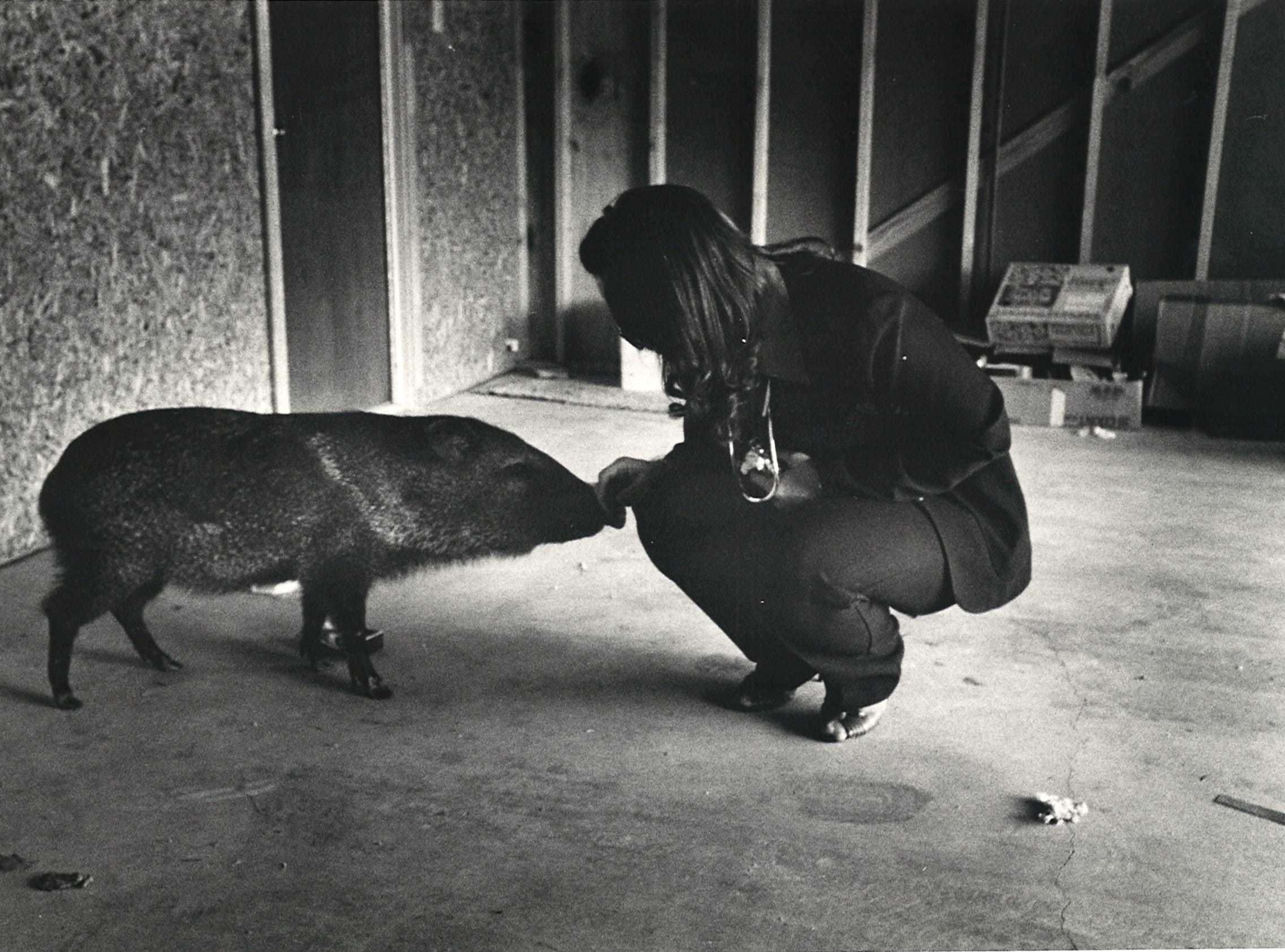 Patsy Thorne feeds a seemingly tame javelina found south of Kingsville in January 1986. Thorne hoped the javelina was Bubba, her pet javelina that was confiscated by Texas Parks and Wildlife and released into the wild, but that wasn't the case. This javelina was only a year old and half the size of Bubba.
