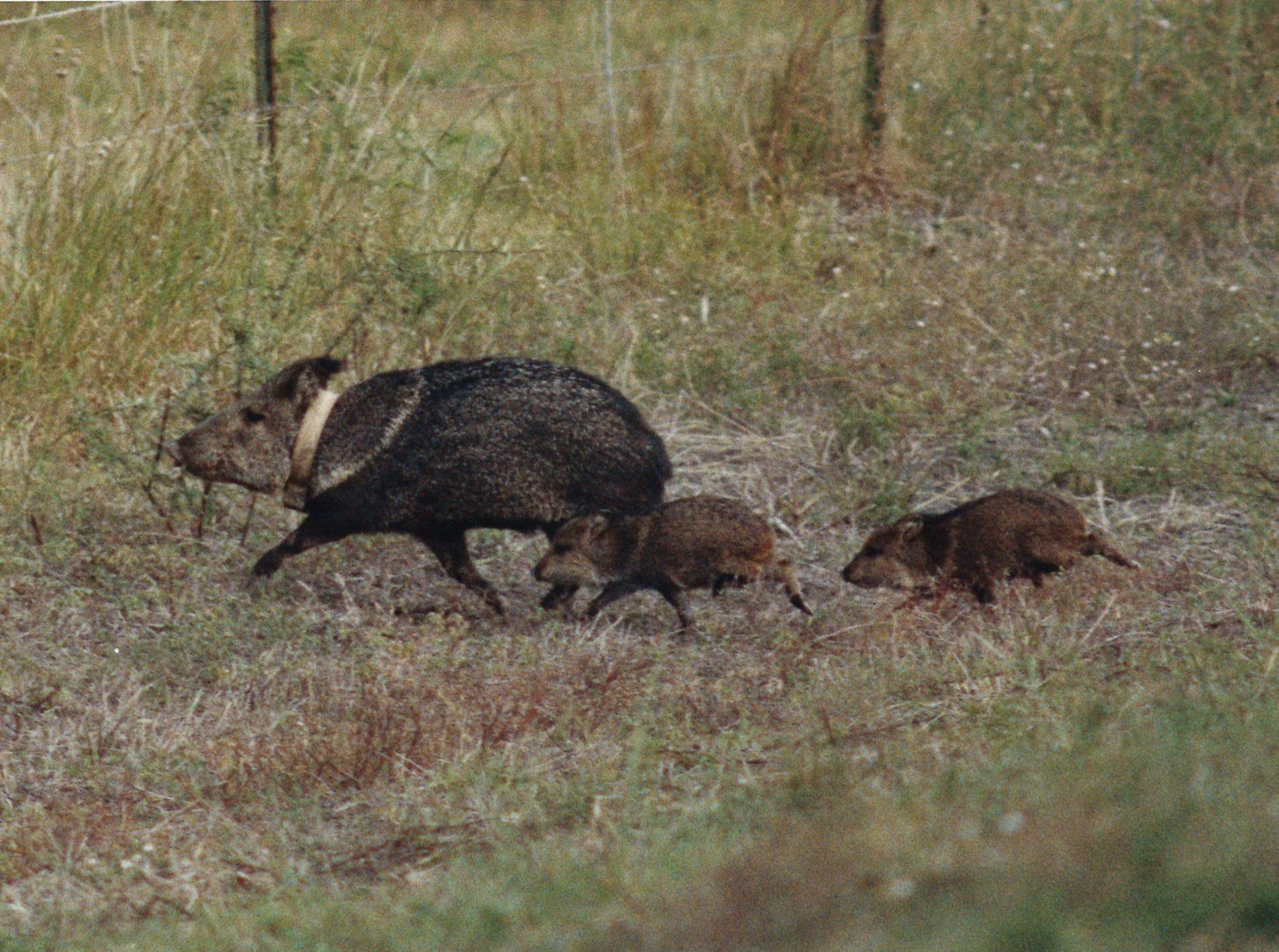 A mother javelina with two babies scurried through the Welder Wildlife Refuge in January 1991. The mother has a radio telemetry collar to allow researchers to track her movements.