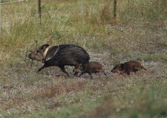 A mother javelina and her babies scurry through the Welder Wildlife Refuge in San Patricio County near Sinton, Texas.