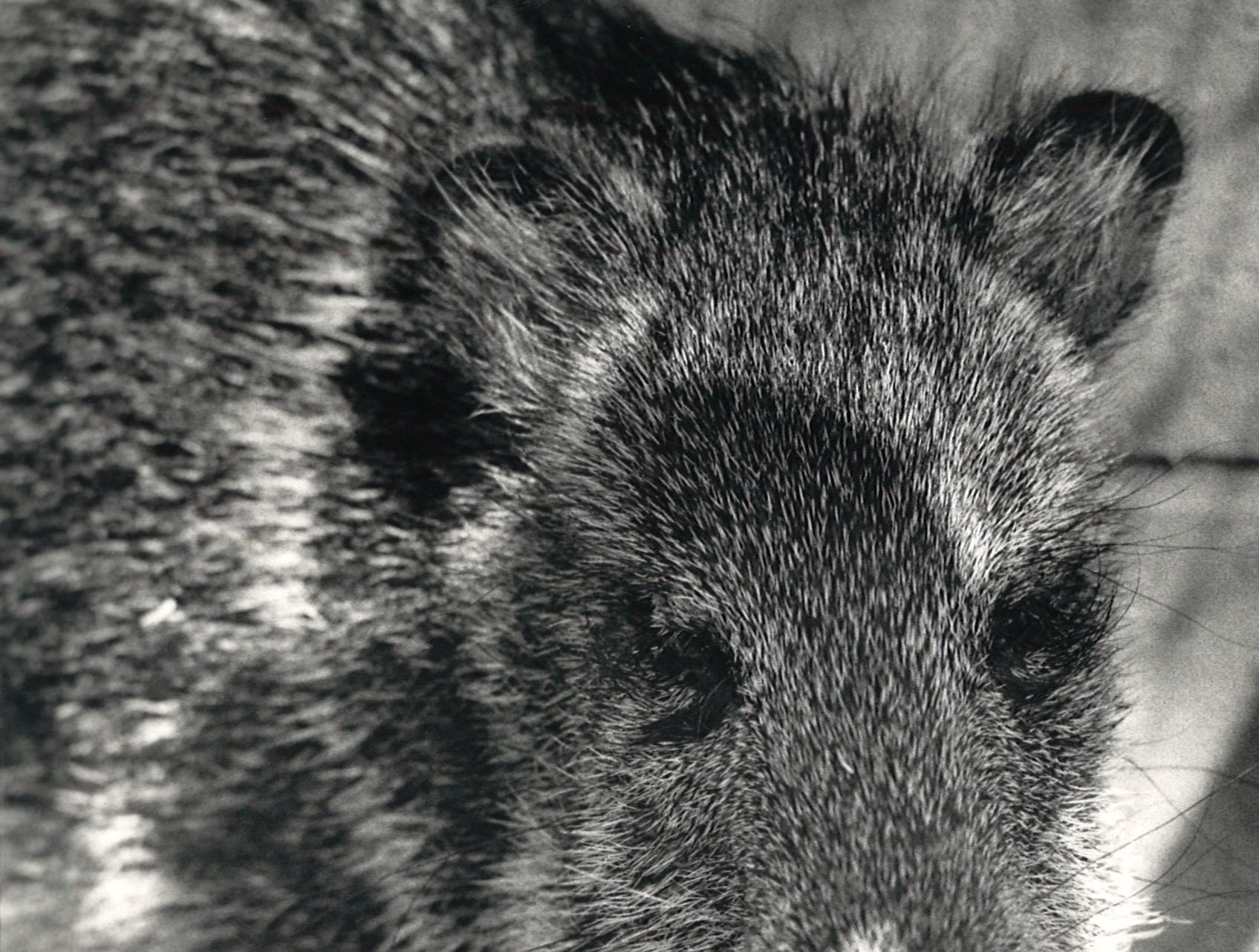 This young javelina started down the Caller-Times photographer while housed at Corpus Christi's Animal Control offices in February 1987 after being captured in the Hillcrest area. The javelina was relocated to the King Ranch.