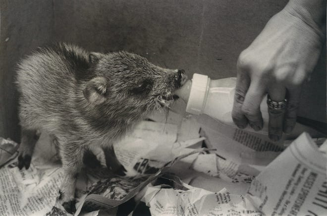 Mrs. James Storm bottlefeeds a two- to three-week-old javelina she found abandoned near Tilden in November 1976. She eventually turned the baby javelina over to the Gladys Porter Zoo in Brownsville.
