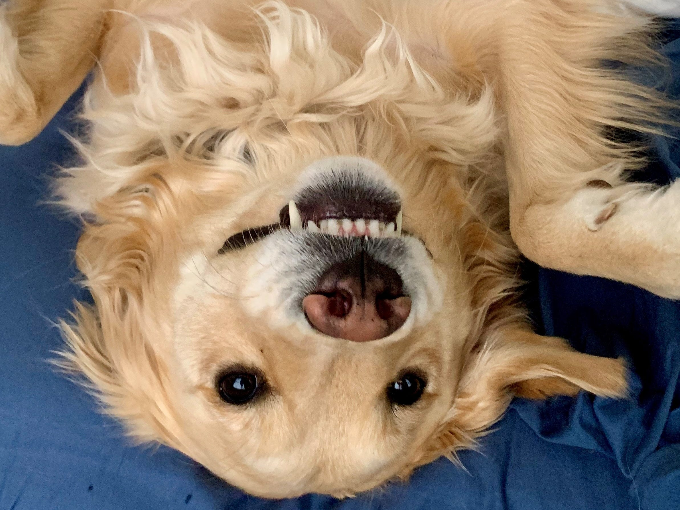 Maggie Windsor, a 3-year-old Golden Retriever, is all smiles after her human, News Director Paige Windsor, says she can get up on the bed.