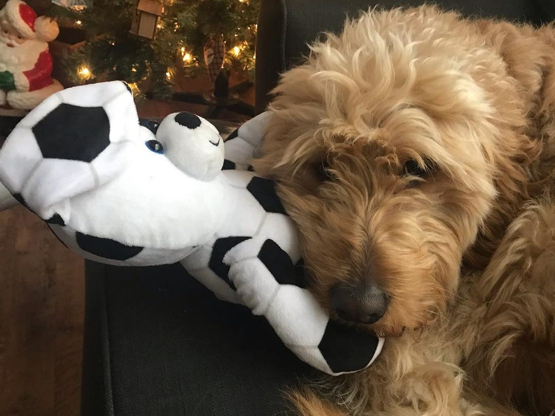 This is Fletcher the 2-year-old goldendoodle that belongs to Register digital planning editor Adam Wilson. He's shown with his favorite stuffed animal toy.