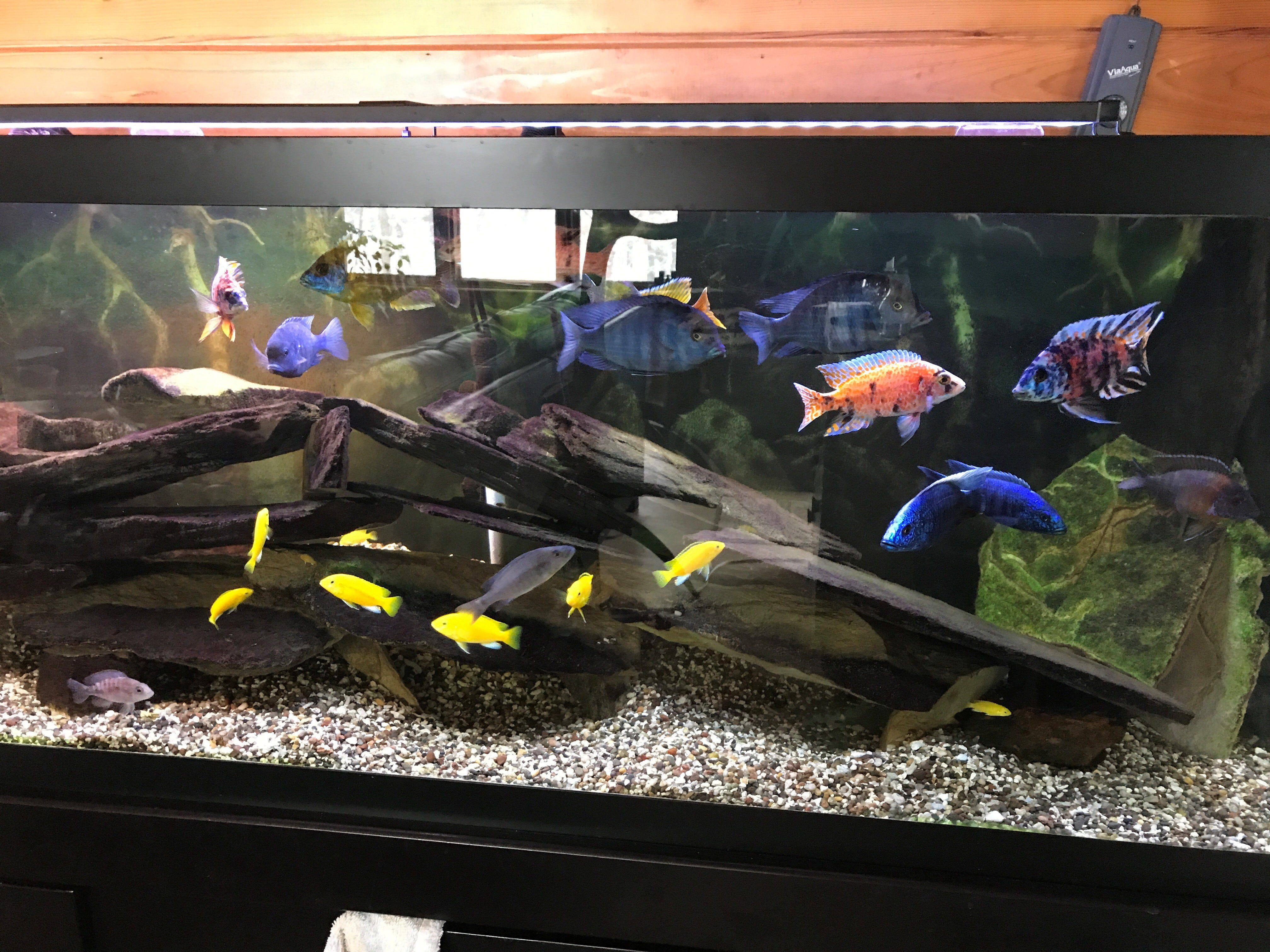 Assorted species of 2-year-old African Cichlids owned by food and dining reporter, Brian Taylor Carlson and his husband, Ed.