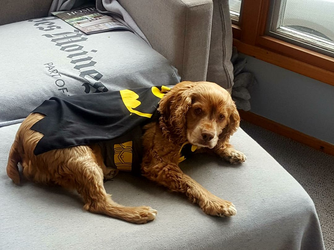 This is Hudson, a 9-year-old Cocker Spaniel/Reluctant Superhero mix, who belongs to sports editor Zack Creglow and his wife, Tessa.