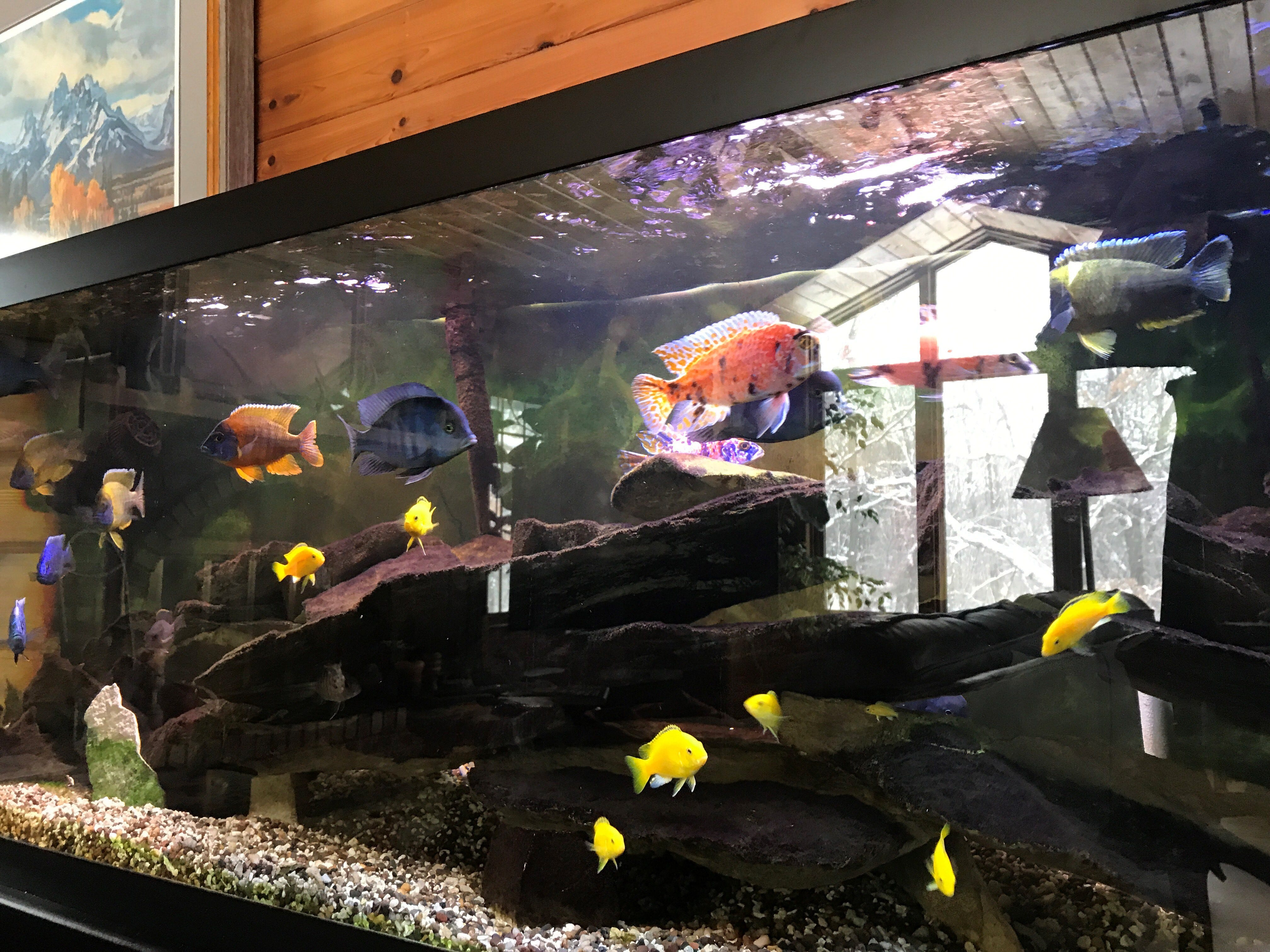 Assorted species of 2-year-old African Cichlids owned by food and dining reporter Brian Taylor Carlson, and his husband, Ed.
