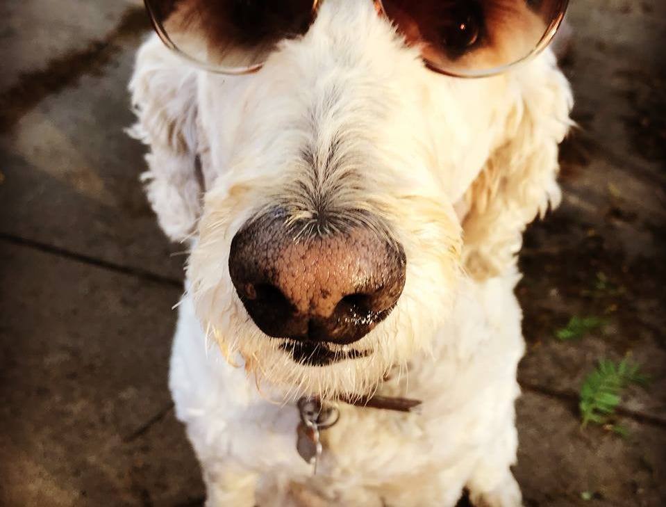 This is Missy, a 9-year-old Goldendoodle, who belongs to sports editor Zack Creglow and his wife, Tessa.