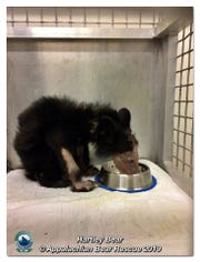 Hartley bear was brought to Appalachian Bear Rescue in Townsend on Valentine's Day weighing less than 12 pounds. Since then, he's seen medical treatment, caretakers and lots of community support.