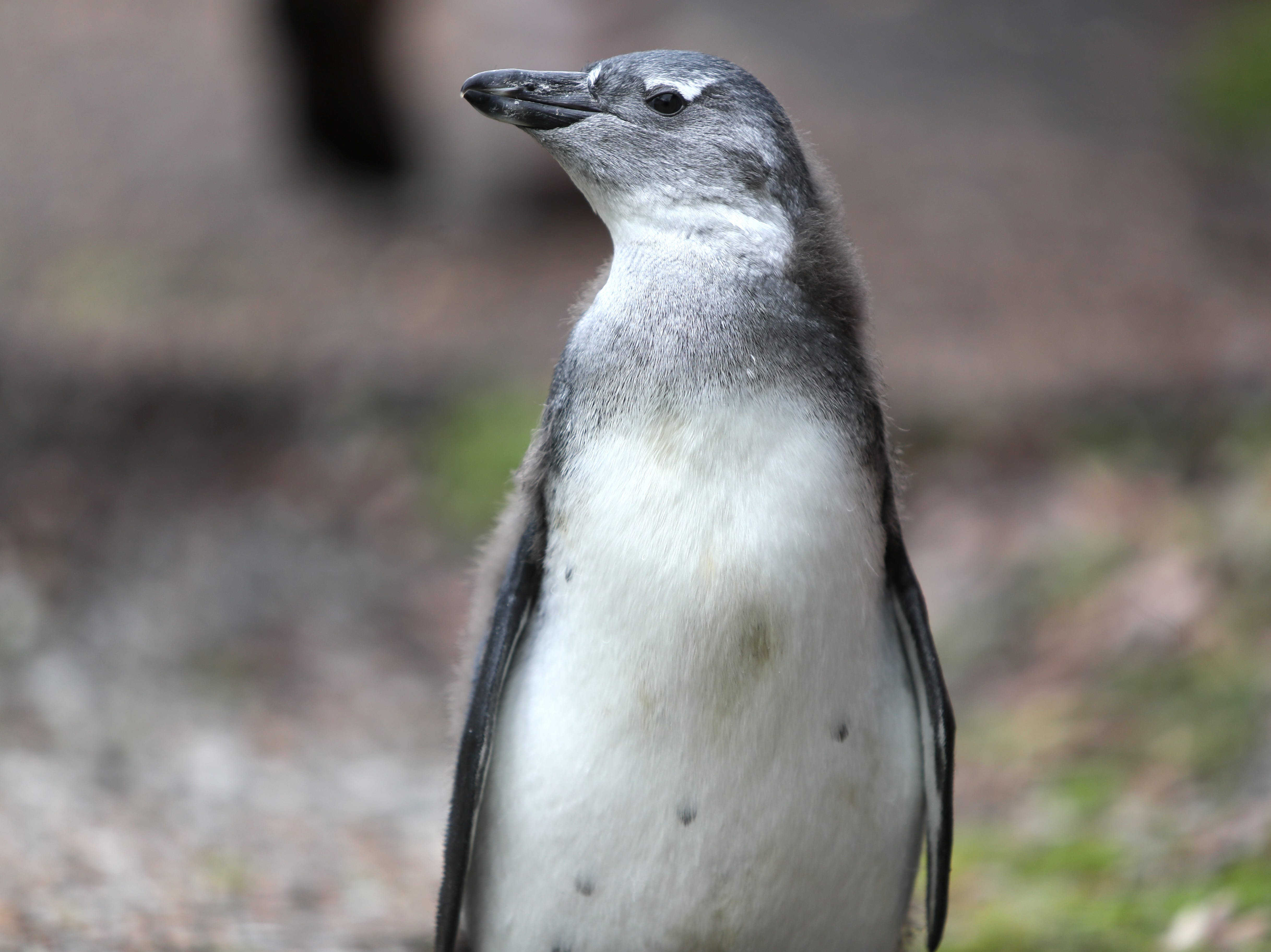 A 2-month-old African Black-Footed penguin walks the grounds of the Memphis Zoo on Tuesday, Feb. 20, 2019.