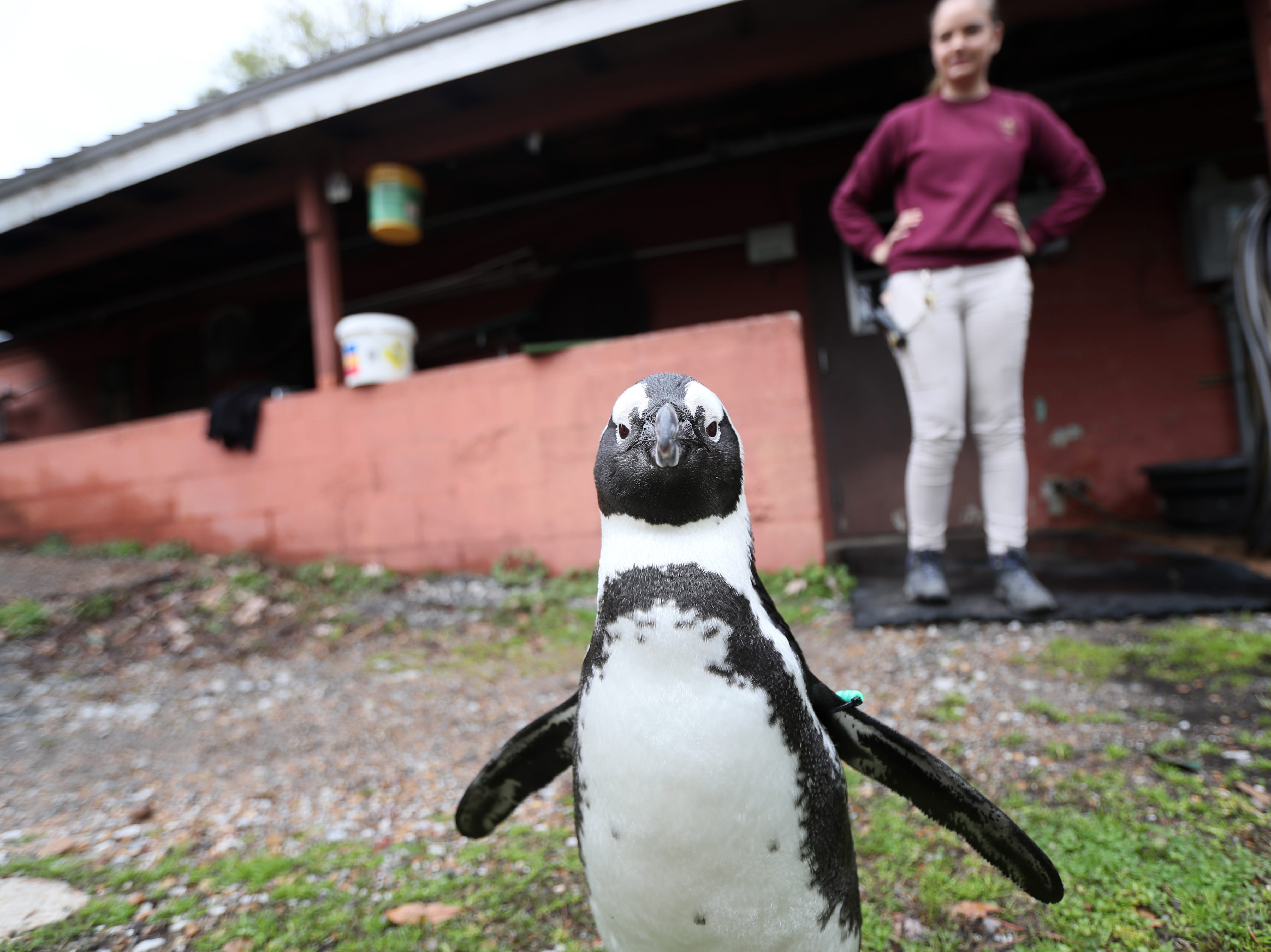 Rosie, a 5-year-old African Black-Footed penguin, walks the grounds of the Memphis Zoo on Tuesday, Feb. 20, 2019.