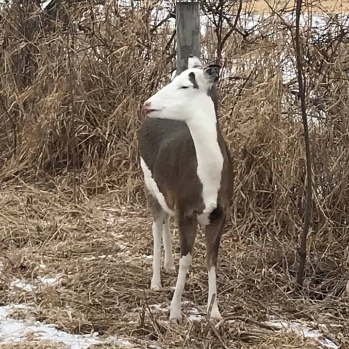Smith: Piebald deer provide rare, handsome twist to whitetail world