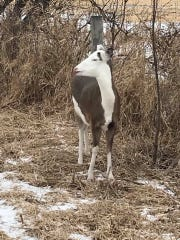 A white-tailed deer with piebald coloration was photographed Feb. 10, 2019 in Lomira, Wisconsin. The coloration is a rare, naturally-occuring trait in deer and other species.