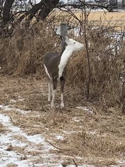 A white-tailed deer with piebald coloration was photographed Feb. 10 in Lomira, Wisconsin.