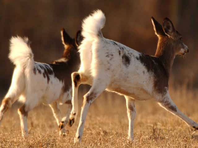 Piebald Deer Provide Rare Handsome Twist To Whitetail World