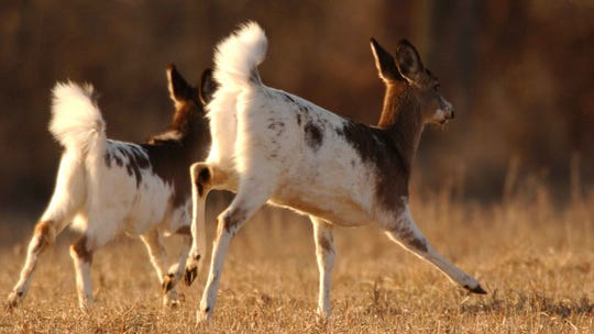 Two piebald deer run in a field.