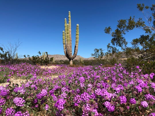 The super bloom has started in the Valle de los Gigantes (Valley of the Giants) in San Felipe, Baja California, Feb. 20, 2019.