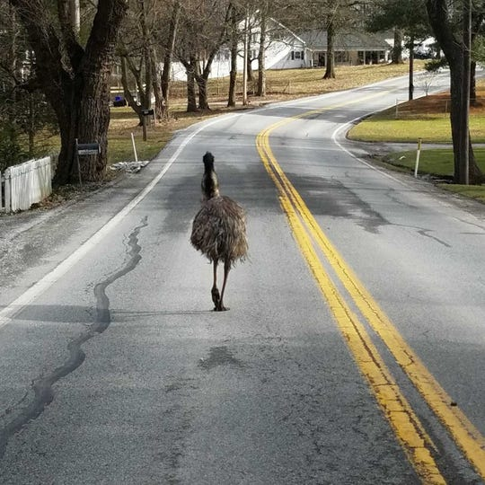 The emu on the loose struts up Lewisberry Road, escaping its supposed captors.